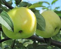 Саджанці яблуні АНТОНІВКА (дворічний) термін дозрівання осінній, фото 1