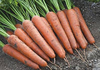 Морковь Аурантина F1 100 000 сем. Takii Seeds