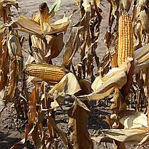 Гибрид Кукурузы Вудсток ТК 260 - ФАО 260 (2019), фото 2