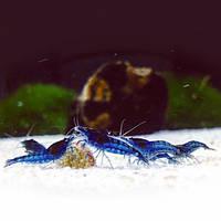 Креветка Синяя Мечта (Neocaridina Blue Dream)