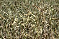 Насіння Спельта озима, безоста Альберта (ВНІС)/ Семена Спельты озимой. Институт селекции ВНИС