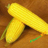 Семена кукурузы Лендмарк F1, 1кг, Clause (Клоз), Франция