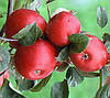 Яблоня Рубиновое Дуки. (М.106) Зимний сорт.