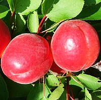 Саженцы абрикоса БИГ РЕД (двухлетний) срок созревания средний