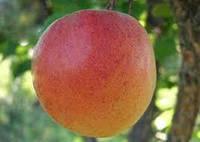 Саджанці абрикоса РЕД СІЛЬВЕР (дворічний), раннього терміну дозрівання