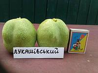 Саженец грецкого ореха Лукашевский, фото 1