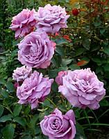 Как посадить розы в своем саду.