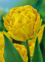 Тюльпан Махровый Monte Carlo (3 шт)