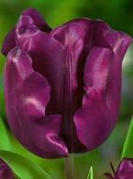 Тюльпан Триумф Negrita (3 шт)