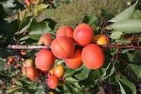 Саджанці абрикоса ХАРОГЕМ (дворічний) середньо пізній строк достигання