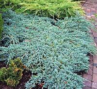 Можжевельник чешуйчатый Blue Carpet, 10-15 см, 2-летки