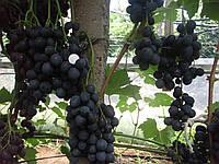 Саженцы винограда Руслан (корнесобственные)