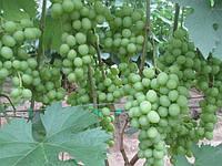 Саженцы винограда Тополёк (привитые)