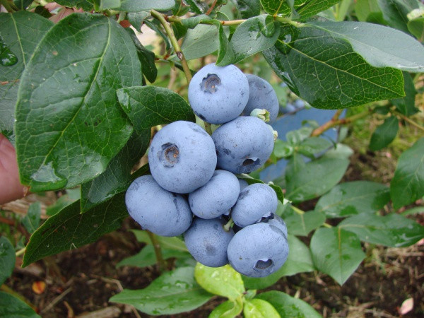 Голубика «Бонус» (Bonus Blueberry), 4-летняя в горшке 10л h-100-130см. куст.,3-5 побегов