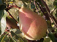 Саженцы груши Милада (ТЕ 52-30).  Позднелетний сорт. (ВА-29), фото 1
