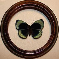 Сувенир - Бабочка в рамке Callithea leprieuri. Оригинальный и неповторимый подарок!