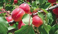 Саженцы абрикоса Биг Ред, фото 1