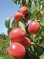 Саженцы абрикоса Киото, фото 1