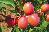 Саженцы абрикоса Цунами, фото 1