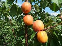 Саженцы абрикоса Фарбелли, фото 1