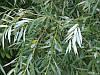 Растительный ИВАПИРИН из коры ИВЫ БЕЛОЙ.