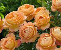 Роза Леди оф Шалот. Английская роза