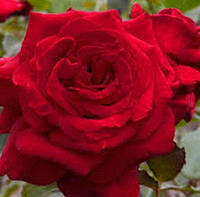 Роза Вельвет Фрагранс. Чайно-гибридная роза.