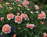 Роза Элизабет Стюарт. Шраб.