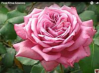 Роза Клод Брассер. (в) Чайно-гибридная роза.