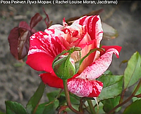Роза Рейчел Луиз Моран. Чайно-гибридная роза.