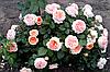 Роза Чиппендейл (Chippendale). Чайно-гибридная роза.