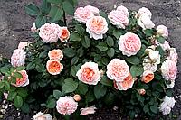 Роза Альбрехт Дюрер. Чайно-гибридная роза.