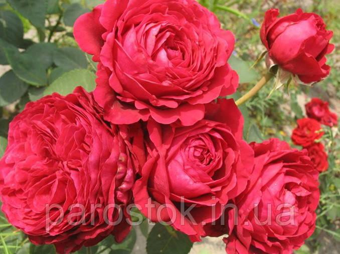 Роза 4-х ветров. Флорибунда