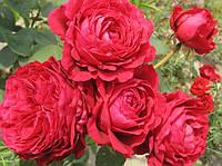 Роза 4-х ветров. Флорибунда.
