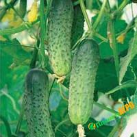 Семена огурца Мамай F1, 10 г из проф банки, Nasko (Наско), Молдавия