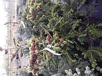 Abies nordmanniana subsp. equi-trojani - Пихта Нордмана
