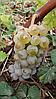 Саженцы  винограда  Олег (  Диамант )