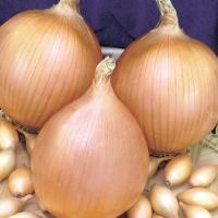 Лук голландский сорт Стурон среднеранний, для для осеннего и весеннего посева,округлой формы желто-коричневый