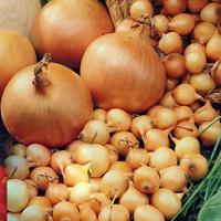Лук голландский Штутгартер севок среднеранний, для осенней и весенней посадки плоской формы золотистого цвета, фото 2