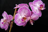 Орхидеи по СУПЕР цене!