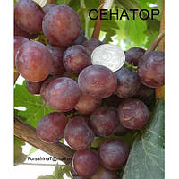 Виноград Сенатор