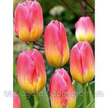 Тюльпан Tom Pouce 12+