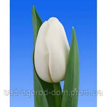 Тюльпан Dynasty White 12+