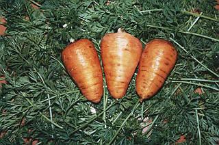 Морква сорт Оленка
