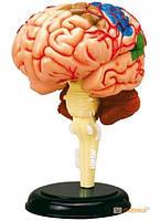 Объемная анатомическая модель 'Мозг человека' (24702)