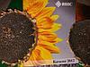 Семена устойчивые к Евролайтнингу КАРЛОС 105, Подсолнечник урожайный и масличный 50%. Экстра