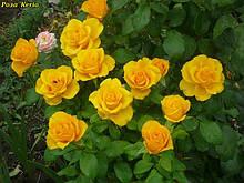 Чайно-гібридні троянди. саджанці