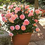 Роза Augusta Luise (Августа Луиза), фото 5