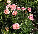 Роза Augusta Luise (Августа Луиза), фото 6