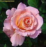 Роза Augusta Luise (Августа Луиза), фото 2